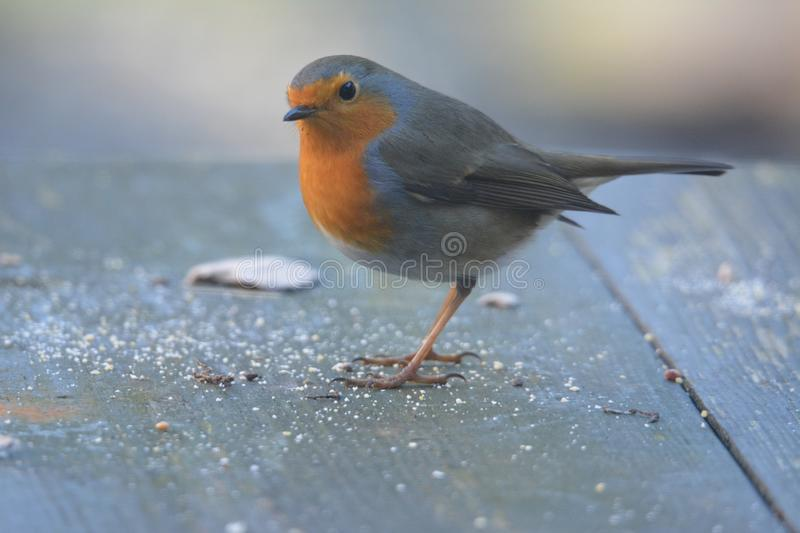 Robin bird in the garden in the netherlands. Robin bird searching for food on the table in the garden Netherlands royalty free stock photo