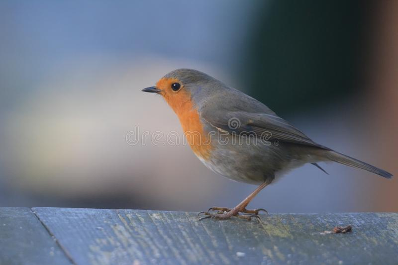 Robin bird in the garden in the netherlands. Robin bird searching for food on the table in the garden Netherlands royalty free stock photos