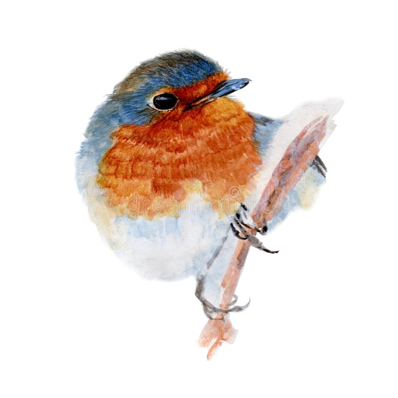 Robin Bird isolated on white background .Robin Bird Hand painted Watercolor illustration. royalty free illustration
