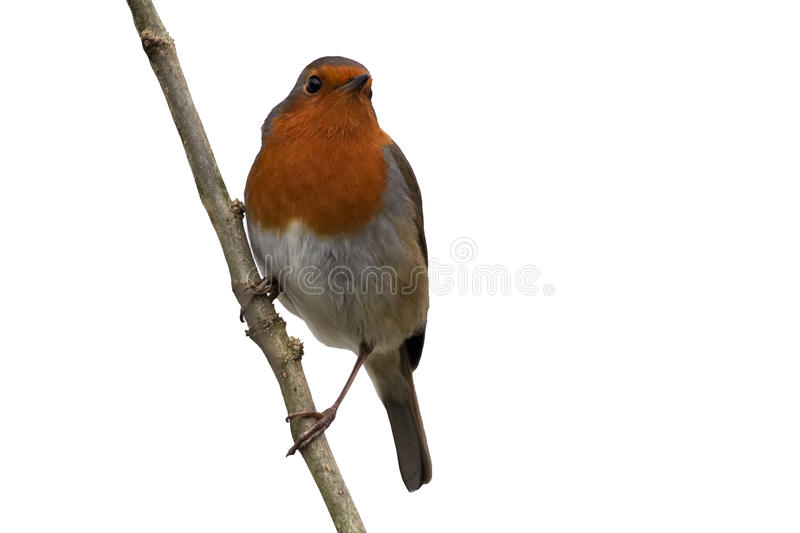 Robin, bird isolated on white background, perched on a branch stock photo