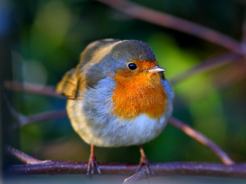 Robin Bird på en filial arkivfoton