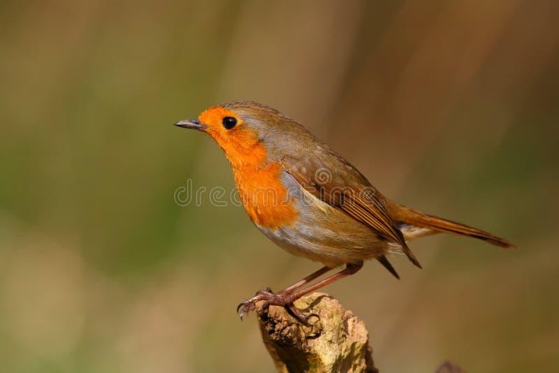 Robin Bird på en filial royaltyfri fotografi