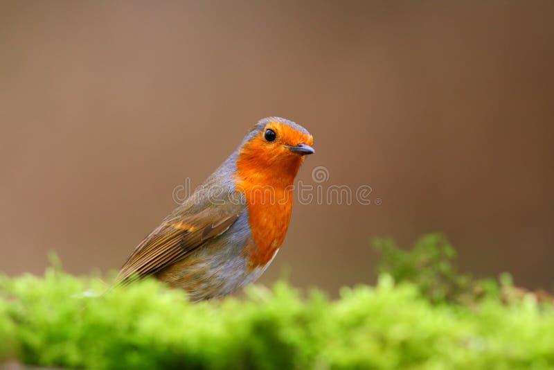 Robin Bird på en filial royaltyfri bild