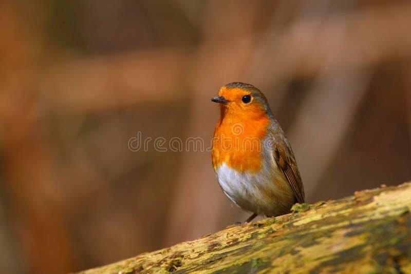 Robin Bird på en filial fotografering för bildbyråer