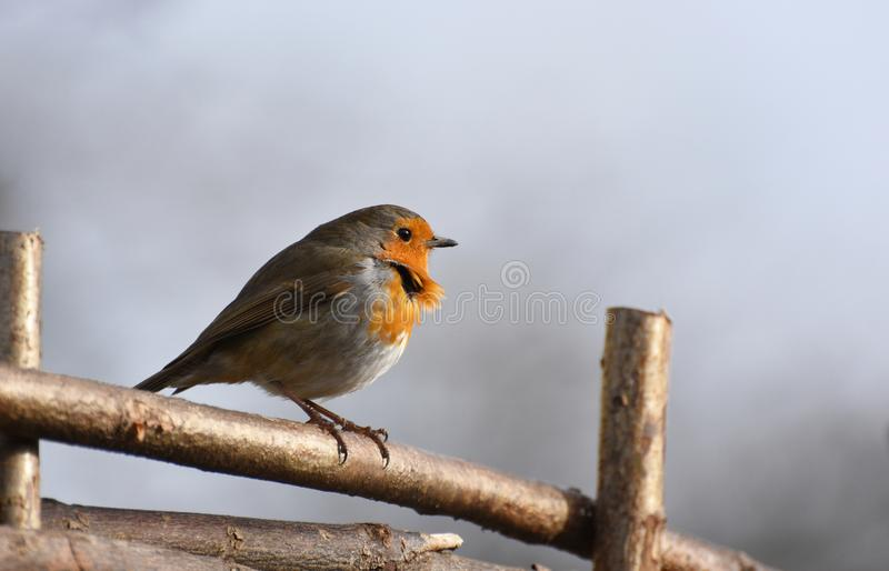 Robin Bird Perched on a fence in the Sunshine with a breeze ruffling its feathers. A Robin red breast bird perches on a wooden fence with a gentle breeze royalty free stock image