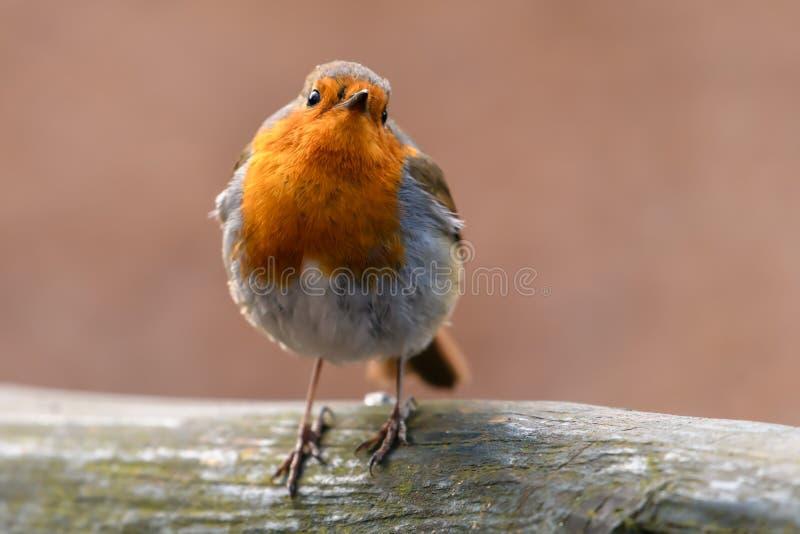 Robin Bird rosso immagini stock