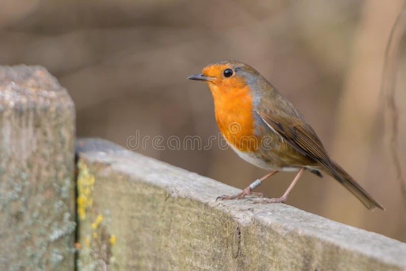 Robin Bird Rubecula del Erithacus fotos de archivo libres de regalías