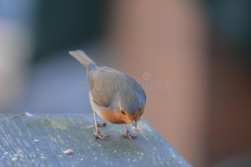 Robin bird in the garden in the netherlands. Robin bird searching for food on the table in the garden Netherlands stock photography