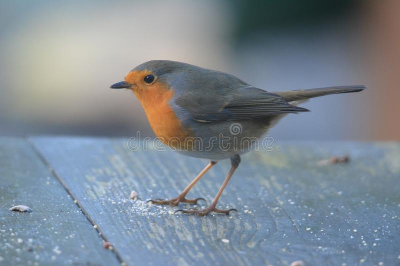 Robin bird in the garden in the netherlands. Robin bird searching for food on the table in the garden Netherlands royalty free stock photography