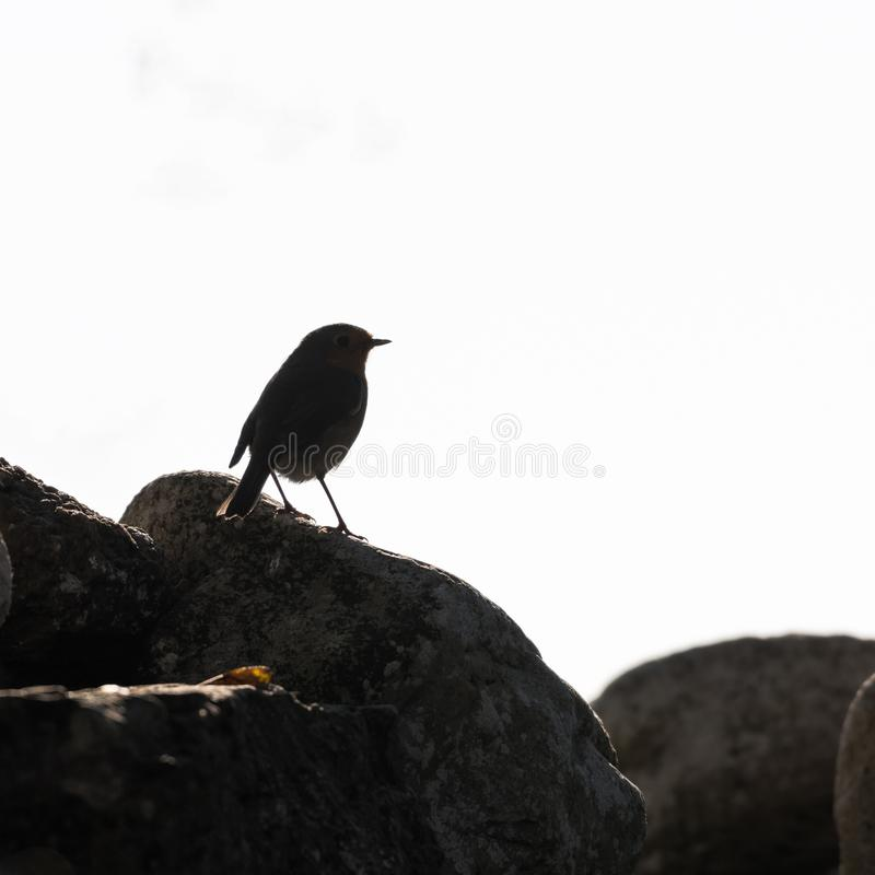 Robin bird silhouette. Silhouette of an European Robin sitting on a rock royalty free stock photography