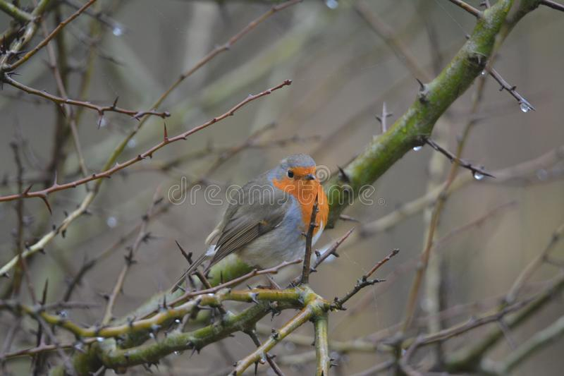 Robin bird at the Oostvaardersplassen in the netherlands. Robin bird sitting on a branch loacation: Oostvaardersplassen in Almere the Netherlands stock photos