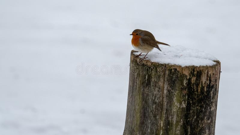 Robin bird in winter stock photography