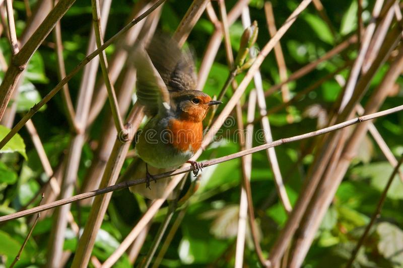 Robin bird is about to take off from a branch, motion blur on wings. royalty free stock photo