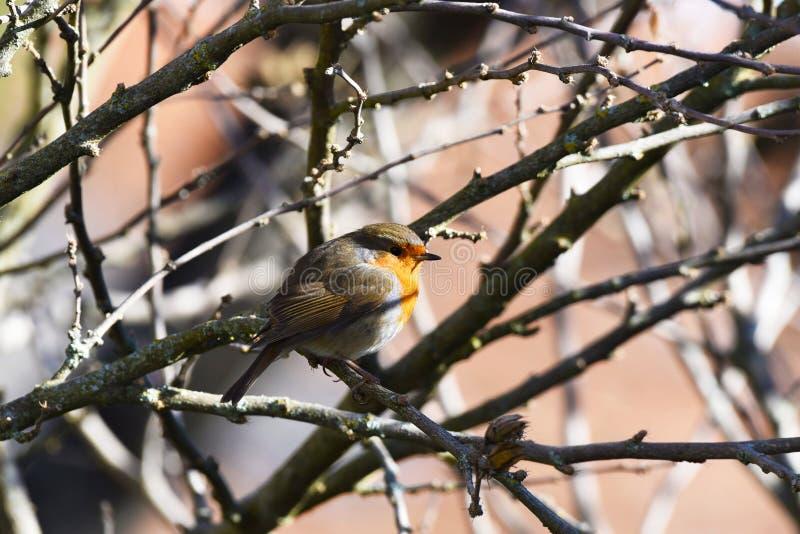 Robin bird in tree stock image