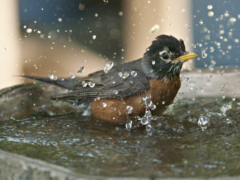 Robin in birdbath fotografia stock