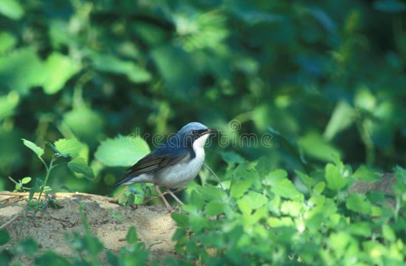 Robin bleu sibérien, Blauwe Nachtegaal, cyane de Luscinia photographie stock