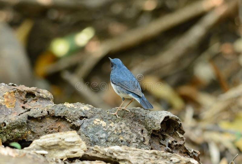 Robin bleu sibérien masculin (cyane de Luscinia) image stock