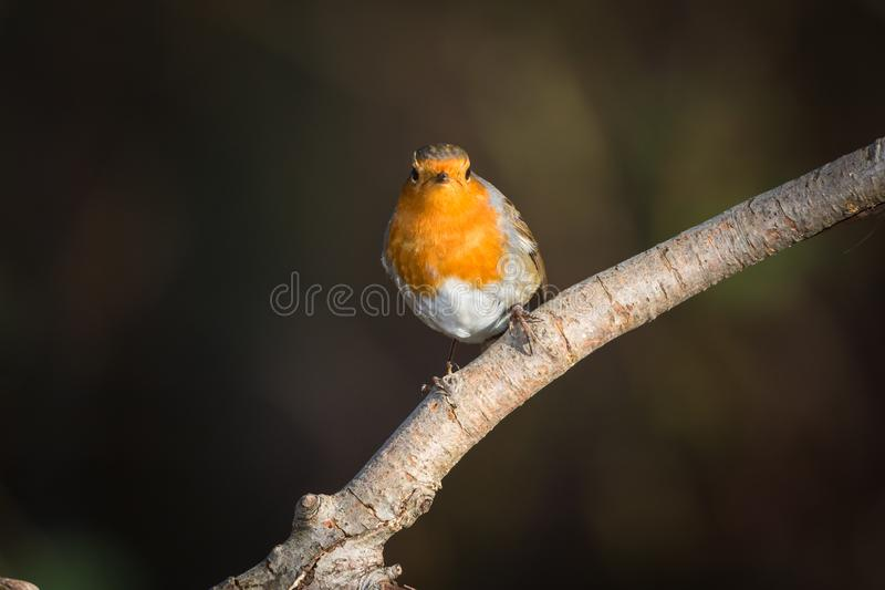 Robin on a branch, looking straight forward royalty free stock image