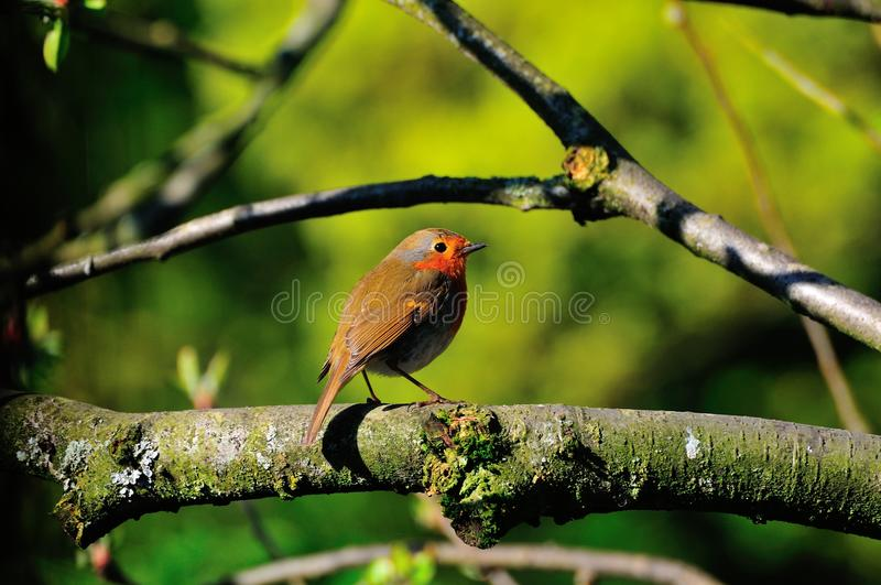 Robin On A Branch. Stock Photo