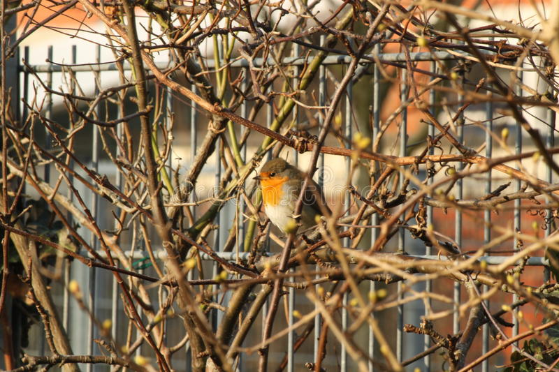 Robin in the bushes in the sun royalty free stock photo