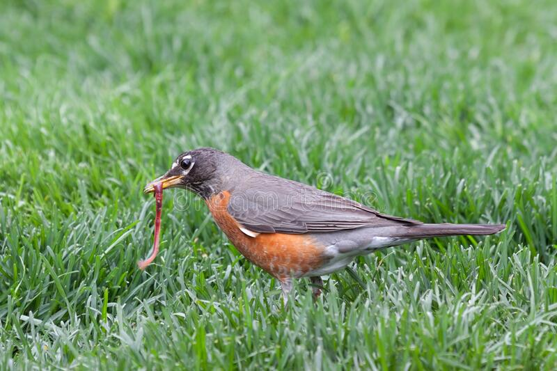 A Robin Catches an Earthworm. A robin catches and holds a wiggling earthworm in its beak stock image