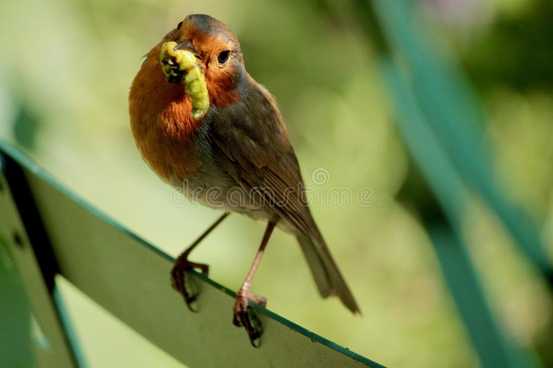 Robin with caterpillar perching on Back of chair stock image