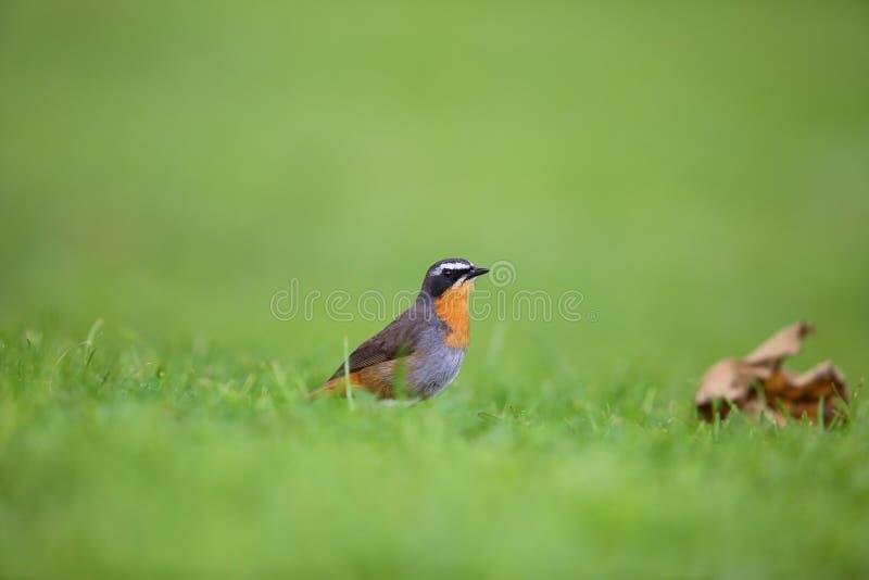Robin-causerie de cap photo stock