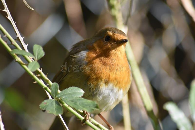 Robin che si siede su un ramo di un albero fotografie stock