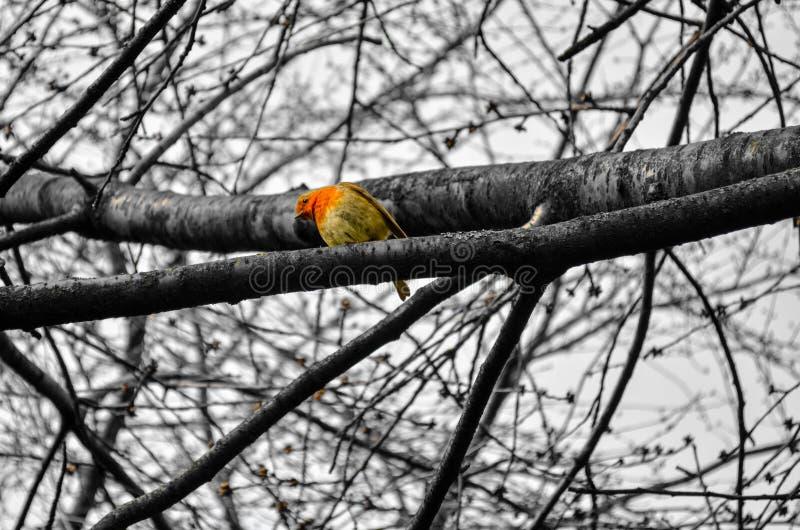 Robin che si siede sui rami di albero immagine stock