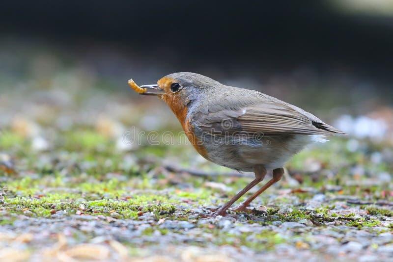 Robin con alimento fotografia stock libera da diritti