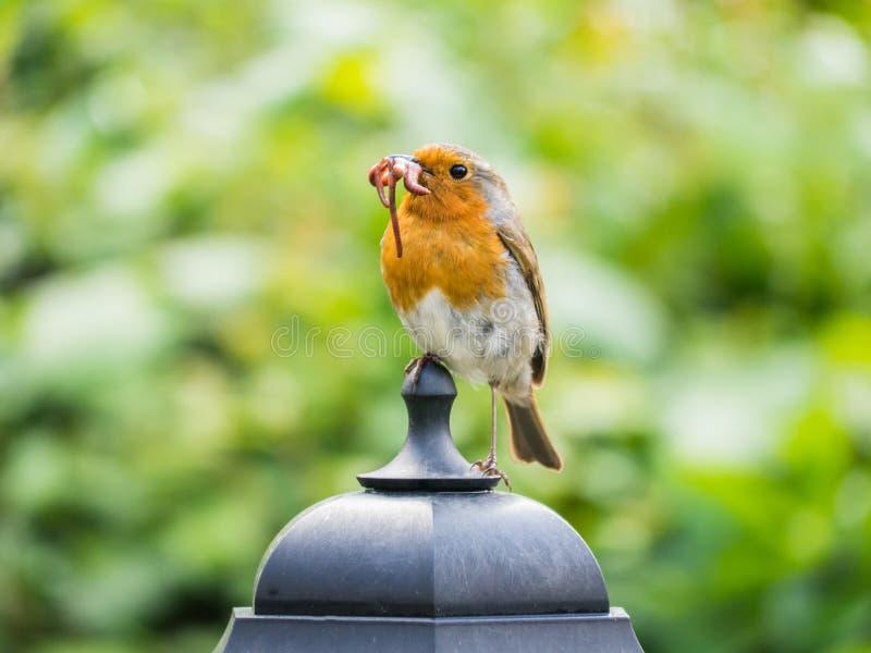 Robin con i vermi in suo becco immagine stock libera da diritti