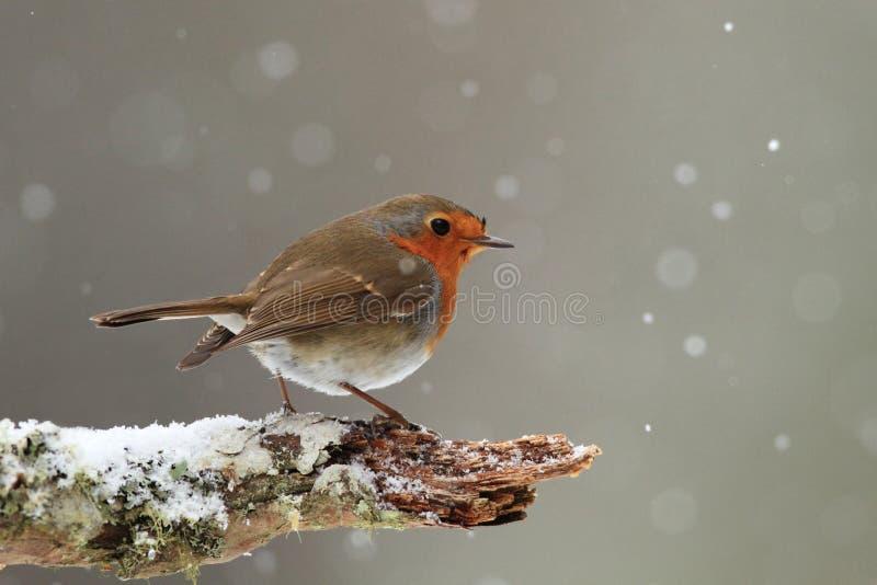 Robin in Dalende Sneeuw stock afbeeldingen