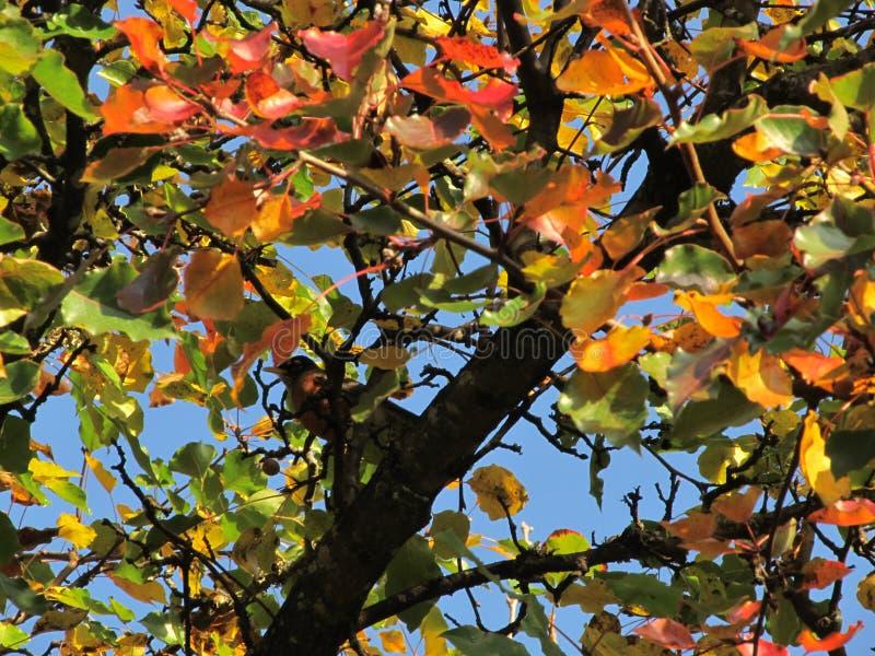 Robin dans Autumn Bradford Pear images libres de droits