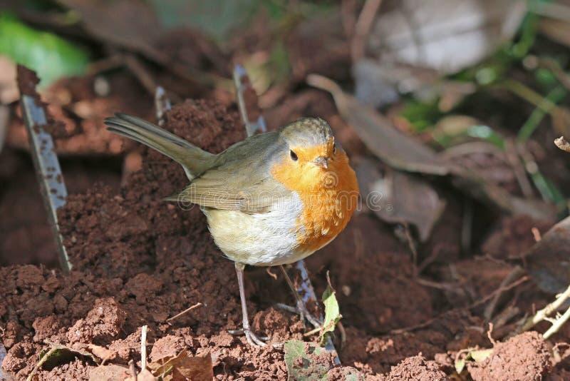 Robin de pie en el suelo fotos de archivo