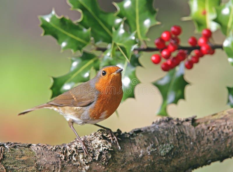Robin in de winter royalty-vrije stock foto's