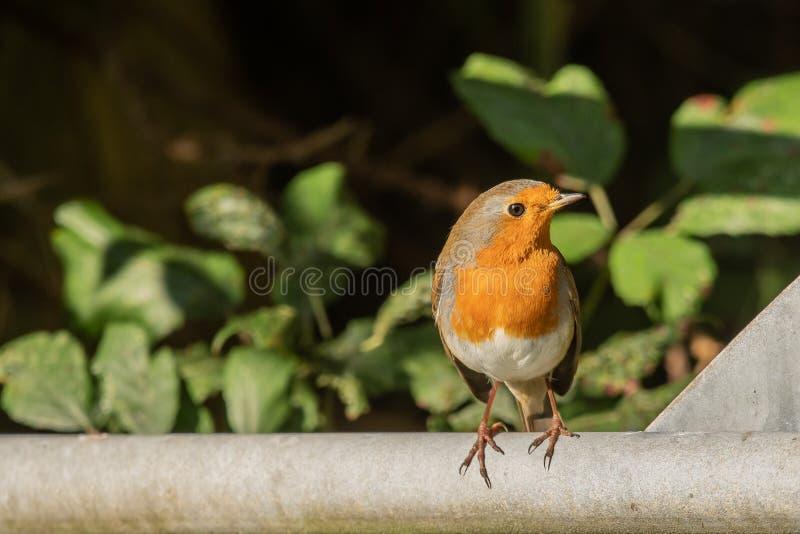 Robin, der ihm ` s Rotbrust vorführt stockbilder