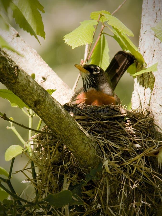 Robin, der im Früjahr ein Nest aufbaut lizenzfreies stockbild