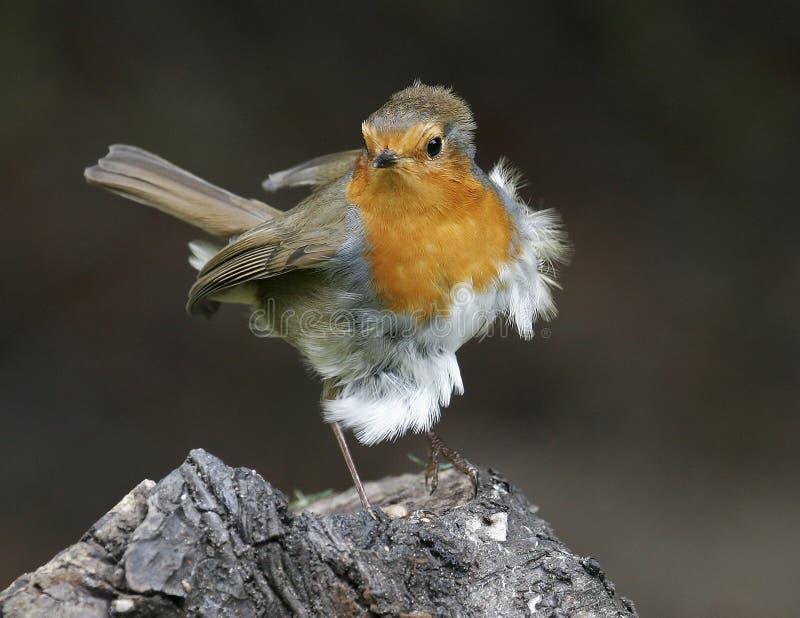 Robin, der im Wind durchbrennt lizenzfreie stockbilder