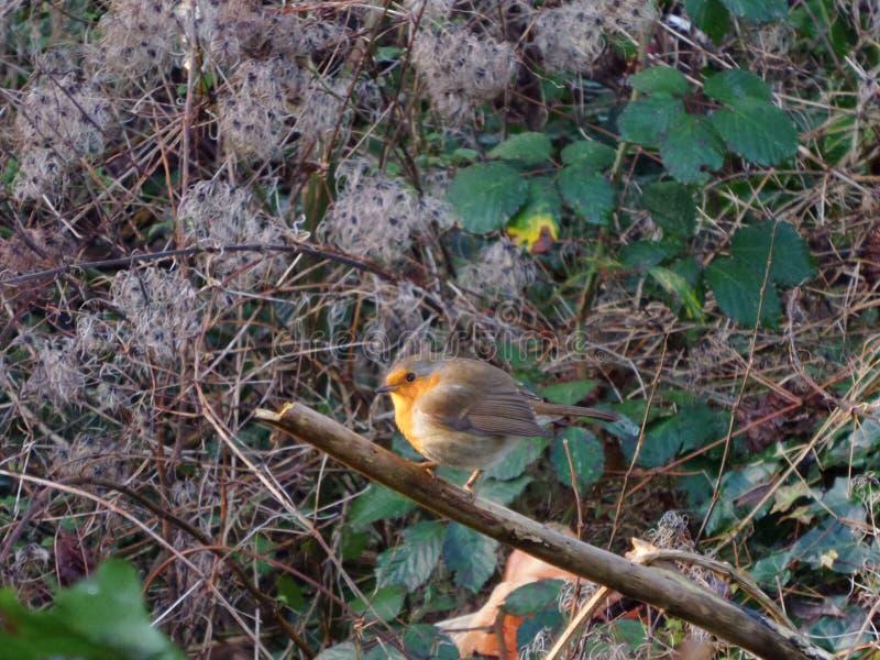 Robin, der sich herum in den Busch versteckt und aufpasst stockfotografie