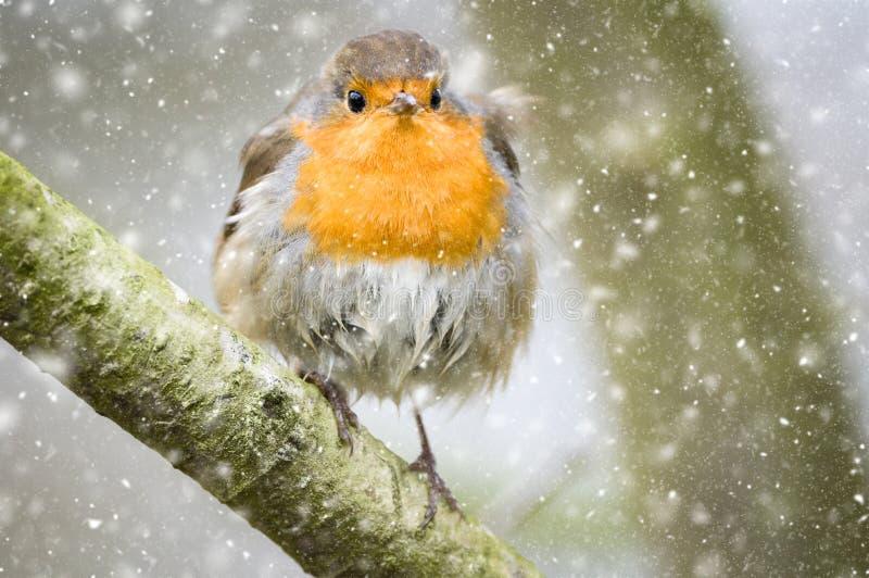 Robin di Natale nella neve fotografie stock