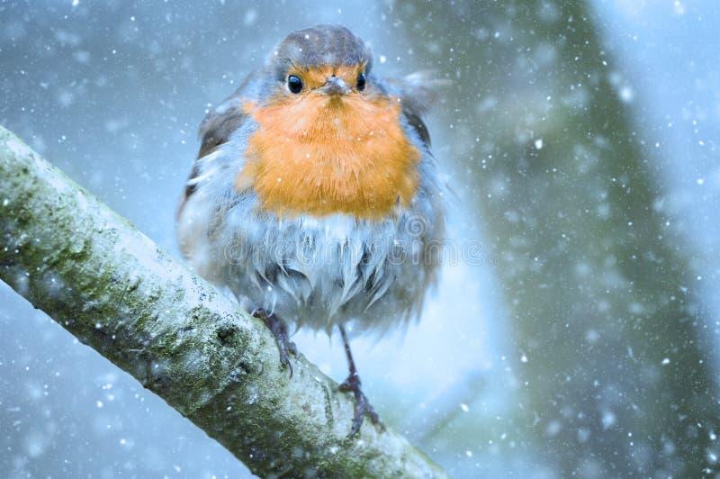 Robin di Natale nella neve immagine stock libera da diritti