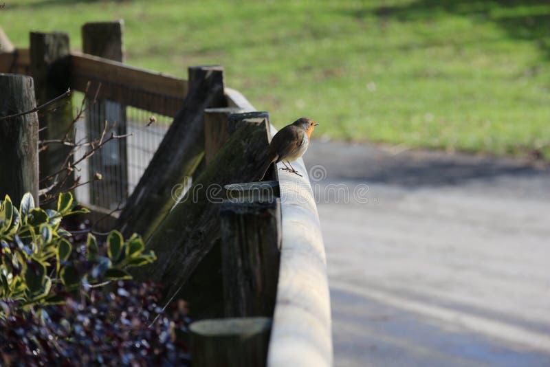 Robin die een rust op een spoor overnemen stock foto
