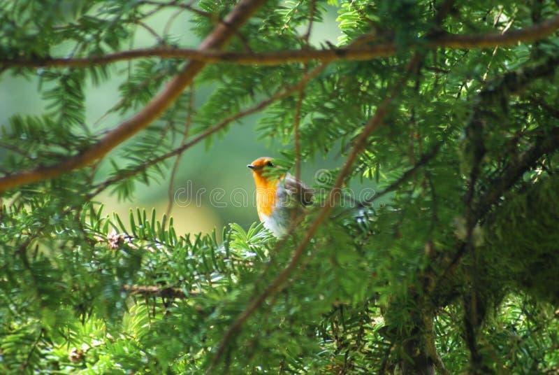 Robin door een spar royalty-vrije stock fotografie