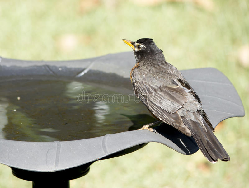 Robin drink water stock image