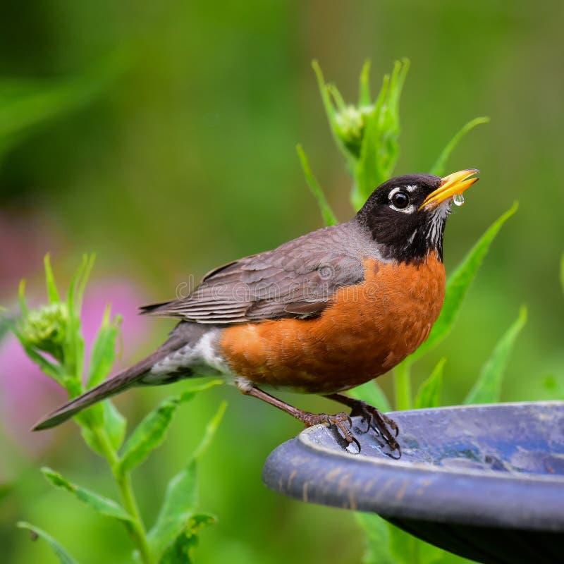 Robin drinking at birdbath royalty free stock photography
