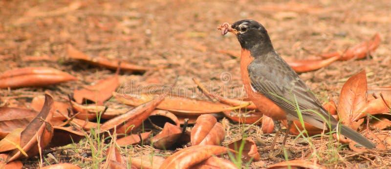 Robin e vite senza fine fotografie stock libere da diritti