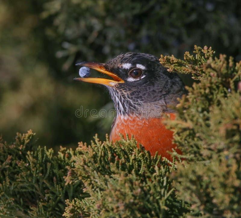 A robin eating a berry from a juniper bush stock photos