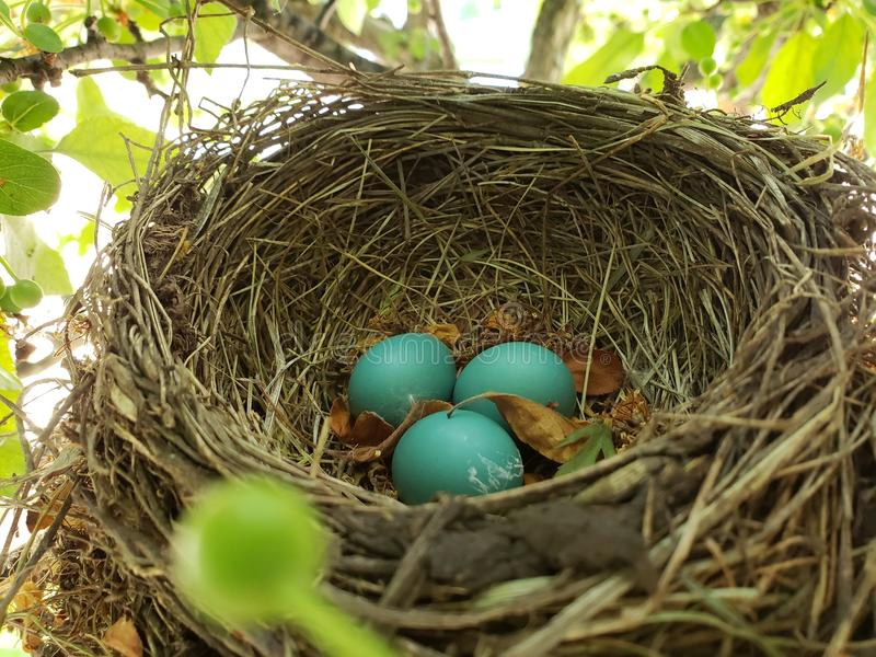 Robin Egg In Bird Nest fotos de archivo