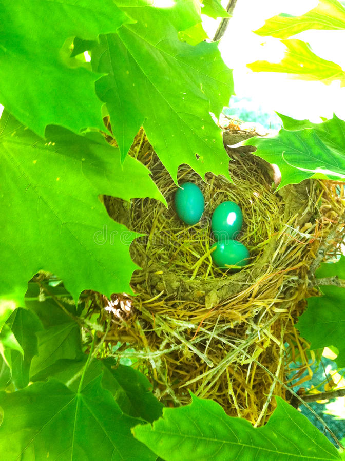 Robin Eggs stock afbeelding