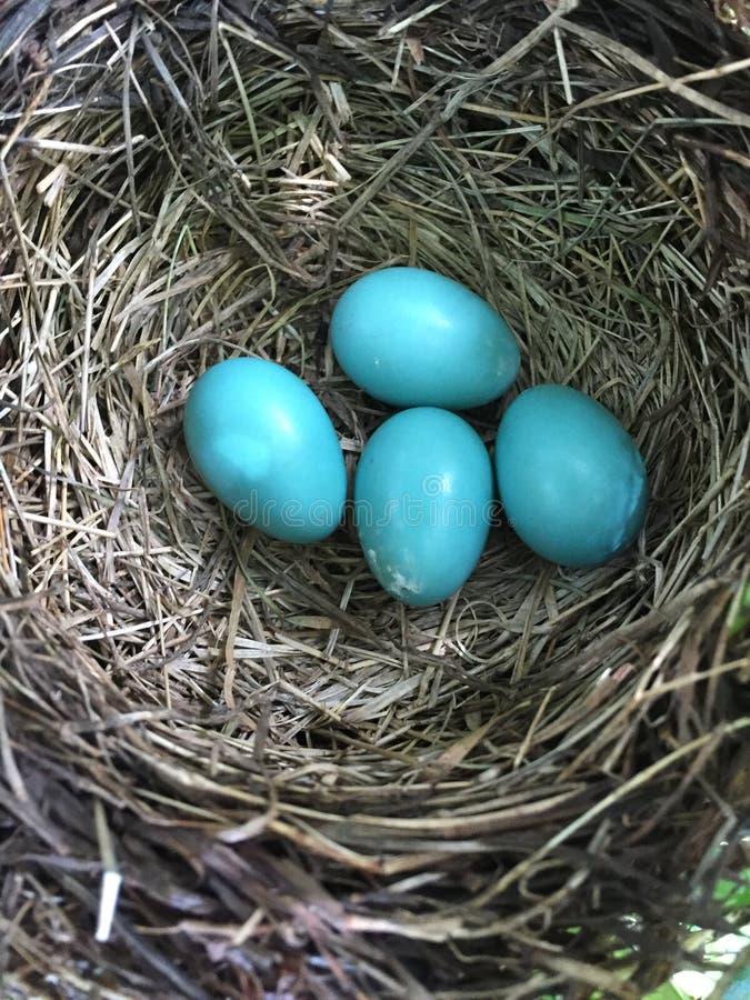 Robin Eggs stockbilder